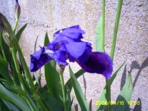 Iris on a windy day